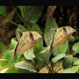 Corydoras Davidsandsi lot de 2