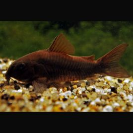 Corydoras black Venezuella lot de 2
