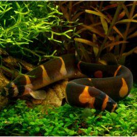 Acanthophthalmus Kuhlii Noirs 4-6cm
