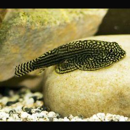 Beaufortia Levertti 4-5cm