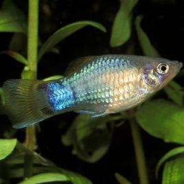 Xiphophorus maculatus Platy bleus 2-3cm lot de 3