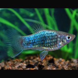 Xiphophorus maculatus Platy Neon bleus Tuxedo 2-3cm