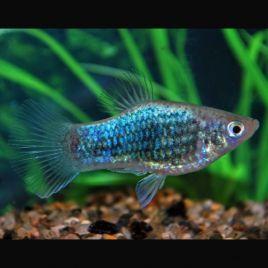 Xiphophorus maculatus Platy Neon Bleus Tuxedo 2-3cm lot de 3