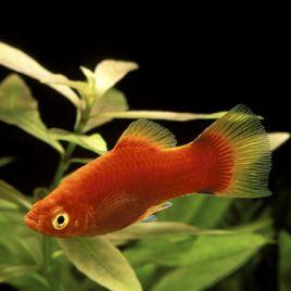 Xiphophorus maculatus Platy rouges 2-3cm lot de 10