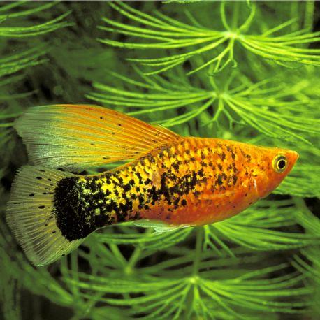 Xiphophorus maculatus Platy Voilée assortis 2-3cm lot de 3