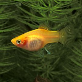 Xiphophorus maculatus Platy dorés  2-3cm