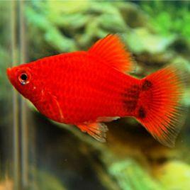 Xiphophorus maculatus Platy Corail rouge Mickey Mouse 1-2cm lot de 3