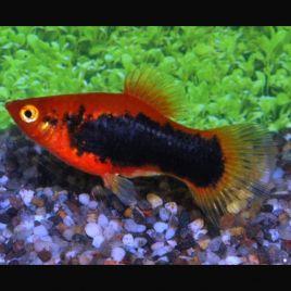 Xiphophorus maculatus Platy Tuxedos rouges