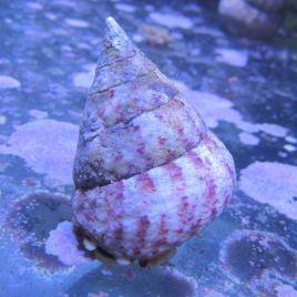 Escargots Tectus conus XL (5 cm) Lot de 5+1 gratuit