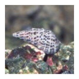 Excargots Cerithium (1-2 cm) Lot de 10+2 gratuits
