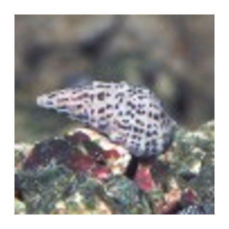 Excargots Cerithium (1-2 cm) Lot de 10+2 graatuits