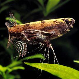 Pantodon Buchholzi poisson papillon 5-6cm