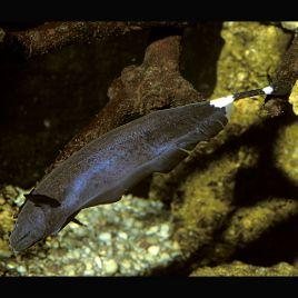 Sternarchus Apteronotus Albifrons poissons plume 12-15cm le lot de 2