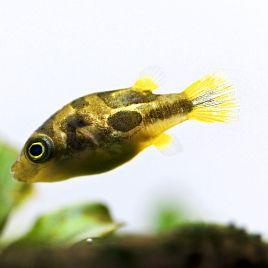 Tetraodons travancoricus 1-2cm