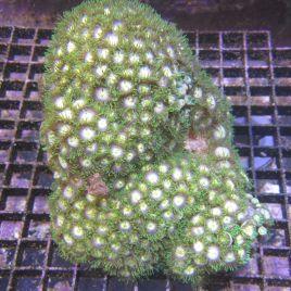 WYSIWYG 3723 : Zoanthus vert-mauve-jaune (06-19)