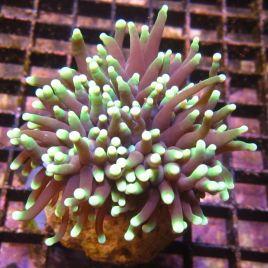 WYSIWYG 3789 : Bouture Euphyllia glabrescens (06-19)