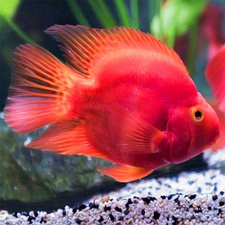 Cichlasoma Perroquet Rouge Red Parrot Lot De 2 5 6cm