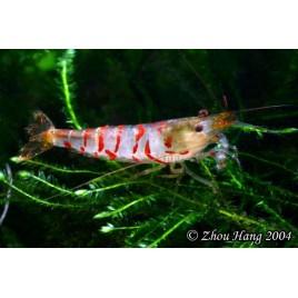 Crevettes à bande rouge