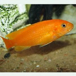 Melanochromis Johanni Red 4-5cm