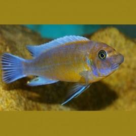 Labeotropheus trewavasae chilumba L 10-12 cm le couple