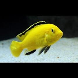 Labidochromis Caeruleus Ml 6-8 Cm