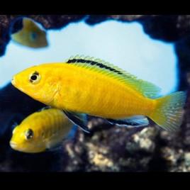 Labidochromis Caeruleus le couple 10-12cm