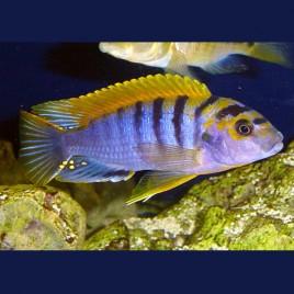 Labidochromis Sp. Hongi Super Redtop L le couple7-9  Cm