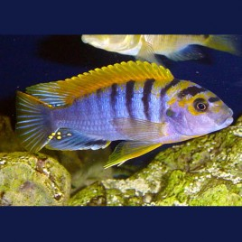 Labidochromis Sp. Hongi Super Redtop M 5-6 Cm