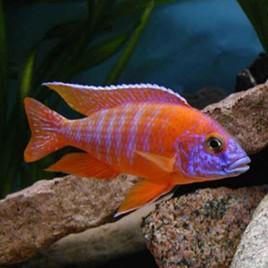 Aulonocara Nyassae Orange le couple 12-15cm