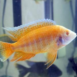 Aulonocara Albino Sunshine le couple 10-12cm