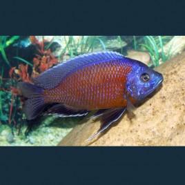 Hapl - Copadichromis Borleyi Kadango Red 4-6cm