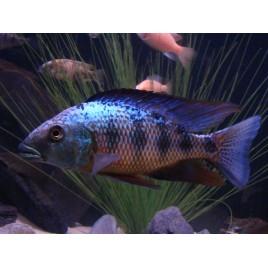 Hapl - Fossorochromis Rostratus 12-14cm le couple
