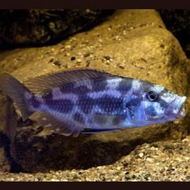 Hapl - Nimbochromis Livingstonii le couple 10-12cm