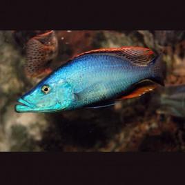 Hapl.- Dimidiochromis Compressiceps le couple 10-12cm