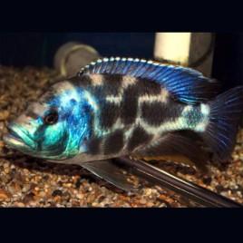 Hapl.- Nimbochromis Livingstonii 4-6cm