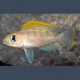 Neolamprologus Caudopunctatus Red Fin M 3-4 Cm