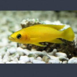 Lamprologus Leleupi 4-5cm