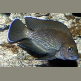 Lamprologus Moorii 3-4cm