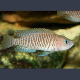 Lamprologus Multifasciatus 2-3cm