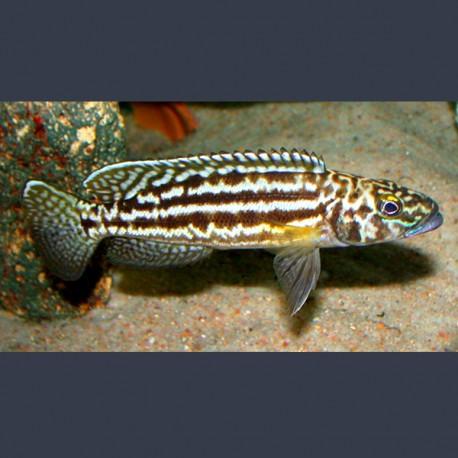 Lamprologus Nkambae 4-5cm