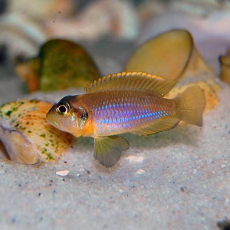 Lamprologus Ocellatus 2-3cm
