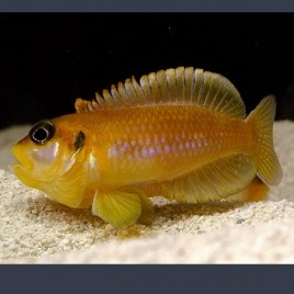Lamprologus Ocellatus Orange 2-3cm