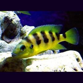 Neolamprologus Sexfasciatus Gold 3-4cm