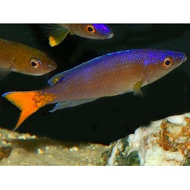Cyprichromis Leptosoma Utinta 5-6cm