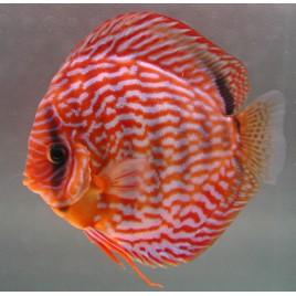 Discus Turquoise rouge 5 cm