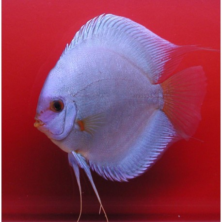 Discus Diamants bleus 5cm lot de 2