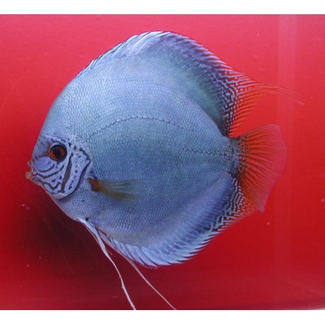 Discus  Cobalt 12-13 cm Lot de 2
