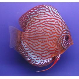 Discus Turquoise rouge 6-7cm le lot de 2