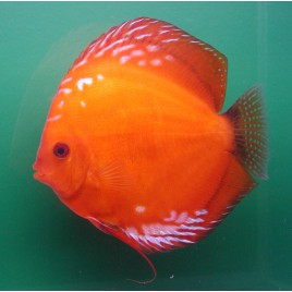 Discus Pigeon blood 5 cm lot de 2