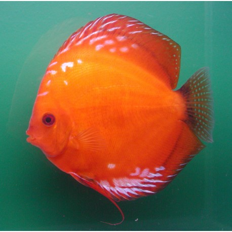 Discus Pigeon blood 8-9cm le lot de 2